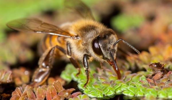 Soro equino antiveneno de abelha