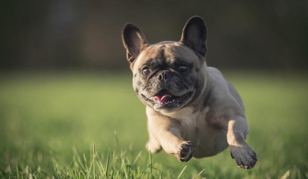 Kit de rápido diagnóstico de cinomose canina