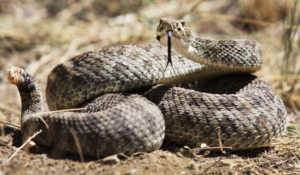 Low cost natural medicine for treating snake bites